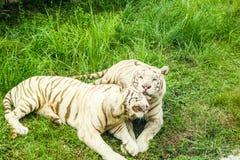 Άσπρη τίγρη Στοκ φωτογραφία με δικαίωμα ελεύθερης χρήσης