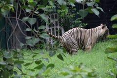Άσπρη τίγρη Pooping Στοκ Φωτογραφίες