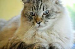 Άσπρη τιγρέ γάτα μιγμάτων Στοκ εικόνες με δικαίωμα ελεύθερης χρήσης