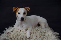 Άσπρη τοποθέτηση σκυλιών Στοκ Εικόνα