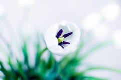 Άσπρη τουλίπα Στοκ εικόνα με δικαίωμα ελεύθερης χρήσης
