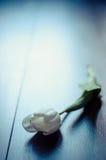 Άσπρη τουλίπα Στοκ Φωτογραφίες