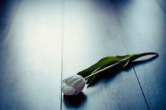 Άσπρη τουλίπα Στοκ φωτογραφία με δικαίωμα ελεύθερης χρήσης