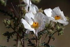 Άσπρη τραχιά παπαρούνα, Argemone albiflora Στοκ Φωτογραφίες