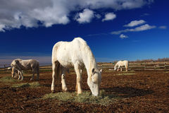 Άσπρη τροφή αλόγων της Νίκαιας με το σανό με τρία άλογα στο υπόβαθρο, σκούρο μπλε ουρανός με τα σύννεφα, Camargue, Γαλλία Στοκ Εικόνα