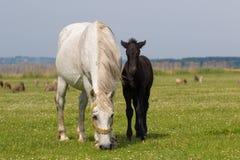 Άσπρη φοράδα και μαύρο foal στο floral λιβάδι Στοκ Εικόνα