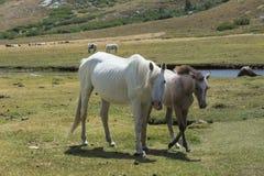 Άσπρη φοράδα με foal στο λιβάδι Στοκ φωτογραφία με δικαίωμα ελεύθερης χρήσης