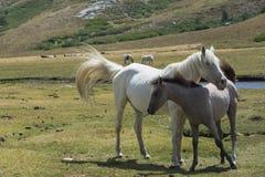 Άσπρη φοράδα με foal στο λιβάδι Στοκ φωτογραφίες με δικαίωμα ελεύθερης χρήσης