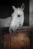 Άσπρη φοράδα Στοκ Εικόνες