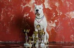 Άσπρη φυλή Dogo Argentino σκυλιών, παράλληλα με τα βραβεία τους Στοκ Φωτογραφίες