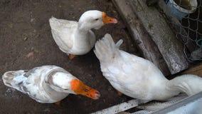Άσπρη χήνα αυλών που τεντώνει το λαιμό του πέρα από ένα αγρόκτημα φρακτών Το ναυπηγείο του χωριού πουλιών ` s φιλμ μικρού μήκους
