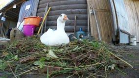 Άσπρη χήνα και δύο γκρίζα gooses κάθονται στη φωλιά κοντά στο σπίτι απόθεμα βίντεο