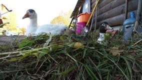 Άσπρη χήνα και δύο χηνάρια κάθονται στην πράσινη χλόη απόθεμα βίντεο