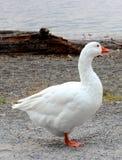 Άσπρη χήνα Στοκ φωτογραφία με δικαίωμα ελεύθερης χρήσης