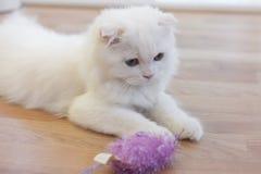Άσπρη χαριτωμένη σκωτσέζικη γάτα πτυχών Στοκ φωτογραφία με δικαίωμα ελεύθερης χρήσης