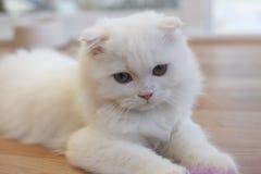 Άσπρη χαριτωμένη σκωτσέζικη γάτα πτυχών Στοκ Εικόνες