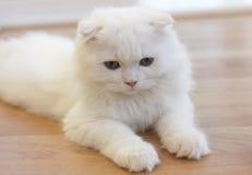 Άσπρη χαριτωμένη σκωτσέζικη γάτα πτυχών Στοκ φωτογραφίες με δικαίωμα ελεύθερης χρήσης