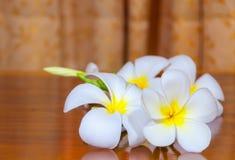 Άσπρη χλωρίδα Plumeria Pudica Στοκ Εικόνα