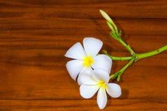 Άσπρη χλωρίδα Plumeria Pudica Στοκ εικόνα με δικαίωμα ελεύθερης χρήσης