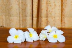 Άσπρη χλωρίδα Plumeria Pudica Στοκ Φωτογραφίες