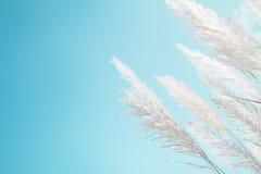 Άσπρη χλόη φτερών μαλακότητας με το αναδρομικά μπλε υπόβαθρο και το διάστημα ουρανού Στοκ εικόνα με δικαίωμα ελεύθερης χρήσης