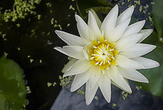 Άσπρη λωτός-άσπρη πλήρης άνθιση κρίνων νερού Στοκ Εικόνες