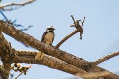 Άσπρη browed fantail flycatcher συνεδρίαση στον κλάδο δέντρων στοκ εικόνες με δικαίωμα ελεύθερης χρήσης
