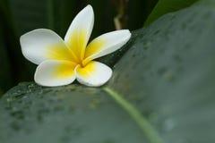 Άσπρη frangipani άνθιση λουλουδιών SPA plumeria τροπική Στοκ φωτογραφία με δικαίωμα ελεύθερης χρήσης
