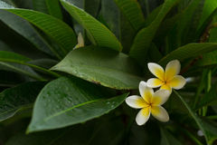 Άσπρη frangipani άνθιση λουλουδιών SPA plumeria τροπική Στοκ Φωτογραφίες