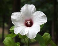 Άσπρη hibiscus άνθιση Στοκ Φωτογραφία