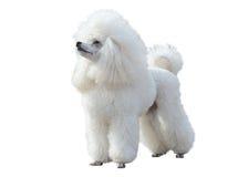 Άσπρη Poodle στάση που απομονώνεται στο άσπρο υπόβαθρο Στοκ Φωτογραφία