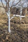 Άσπρισμα άνοιξη των νέων δέντρων μηλιάς Στοκ εικόνες με δικαίωμα ελεύθερης χρήσης