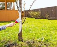 Άσπρισμα των οπωρωφόρων δέντρων την άνοιξη Προσοχή του κήπου Το χέρι με μια βούρτσα χρωματίζει ένα δέντρο για να το προστατεύσει  στοκ φωτογραφία