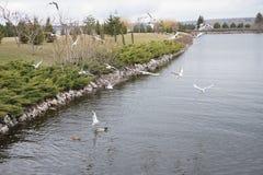 Άσπροι γλάροι ποταμών που πετούν πέρα από το νερό στοκ εικόνες με δικαίωμα ελεύθερης χρήσης