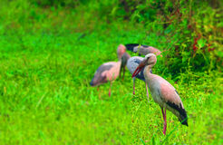 Άσπροι ερωδιοί στο Μπαγκλαντές έρχονται να επισκεφτούν κάθε χρόνο εδώ ως τα αποδημητικά πτηνά από το cyberia Στοκ Φωτογραφίες