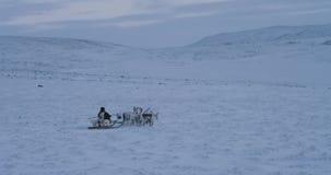 Άσπροι και καφετιοί τάρανδοι που τρέχουν γρήγορα στη μέση του τομέα στην Αρκτική με ένα άτομο χιονιού που φορά τα παραδοσιακά ενδ φιλμ μικρού μήκους