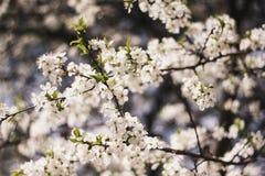 Άσπροι κλάδοι ενός ανθίζοντας δέντρου της Apple ενάντια στο μπλε ουρανό Ανθίζοντας δέντρα κήπων την άνοιξη στοκ εικόνες