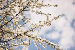 Άσπροι κλάδοι ενός ανθίζοντας δέντρου της Apple ενάντια στο μπλε ουρανό Ανθίζοντας δέντρα κήπων την άνοιξη στοκ εικόνα με δικαίωμα ελεύθερης χρήσης