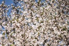 Άσπροι κλάδοι ενός ανθίζοντας δέντρου της Apple ενάντια στο μπλε ουρανό Ανθίζοντας δέντρα κήπων την άνοιξη στοκ φωτογραφίες