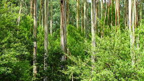 Άσπροι κορμοί δέντρων Στοκ Φωτογραφία