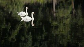 Άσπροι κύκνοι με την πράσινη χλόη Οι άσπροι κύκνοι κολυμπούν και τρώνε απόθεμα βίντεο