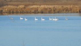 Άσπροι κύκνοι που επιπλέουν στη λίμνη ή τον ποταμό φθινοπώρου απόθεμα βίντεο