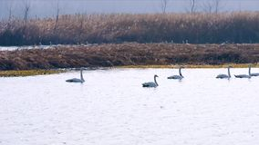 Άσπροι κύκνοι που κολυμπούν στην πλευρά ποταμών απόθεμα βίντεο