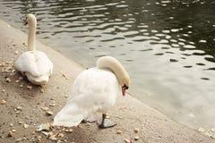 Άσπροι κύκνοι στην ακτή της λίμνης Στοκ εικόνες με δικαίωμα ελεύθερης χρήσης