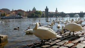 Άσπροι κύκνοι στην Πράγα απόθεμα βίντεο