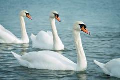 Άσπροι κύκνοι στη θάλασσα wildlife ωκεανός στοκ εικόνες