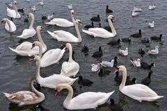 Άσπροι κύκνοι, seagulls και φαλαρίδες Στοκ Εικόνα