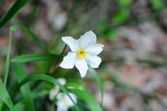 Άσπροι νάρκισσοι Daffodil στοκ εικόνα