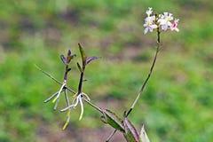 Άσπροι ορχιδέα και μίσχοι Epidendrum με τους νέους βλαστούς Στοκ Εικόνες