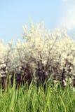 Άσπροι λουλούδια και μπλε ουρανός χλόης Στοκ φωτογραφία με δικαίωμα ελεύθερης χρήσης